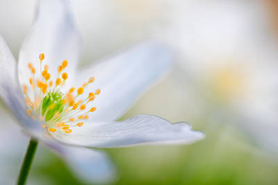 Wood Anemone Spring Flower Detail Art Print