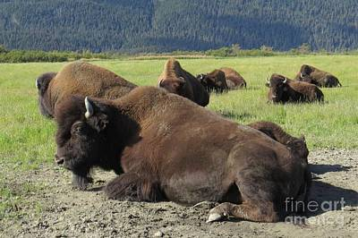 Photograph - Wood Bison by Frank Townsley