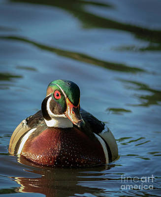 Photograph - Wood Duck 3 by David Cutts