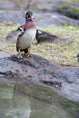 Photograph - Wood Duck by Allan Morrison