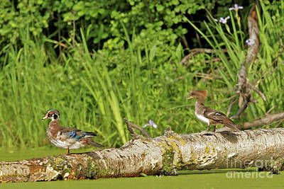 Wood Duck Photograph - Wood Duck And Merganser by Natural Focal Point Photography