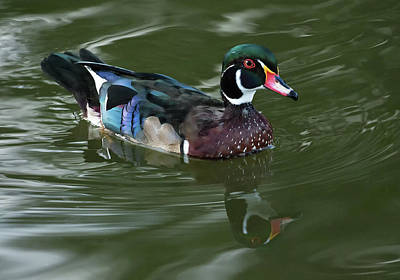 Photograph - Wood Duck by Art Cole