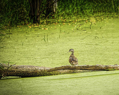 Photograph - Wood Duck At Seven Ponds by LeeAnn McLaneGoetz McLaneGoetzStudioLLCcom