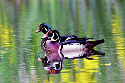 Photograph - Wood Duck Bookends by Kathy Kelly