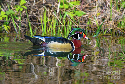 Photograph - Wood Duck by Calvin Fannin