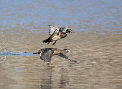 Photograph - Wood Duck Couple by Andrew W Hu