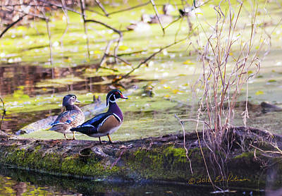 Photograph - Wood Duck Couple by Edward Peterson