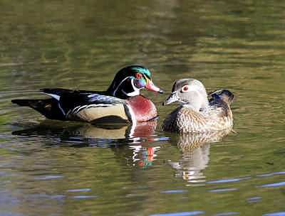 Photograph - Wood Duck Drake And Hen by Steve McKinzie