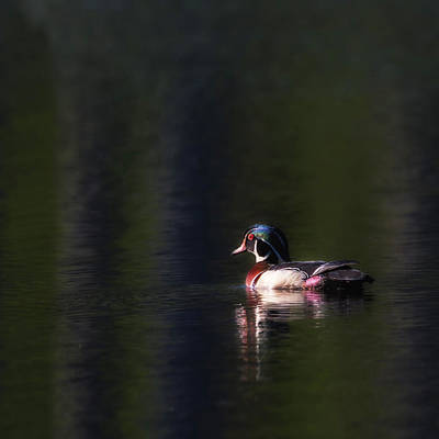 Wood Duck Photograph - Wood Duck Drake by Bill Wakeley