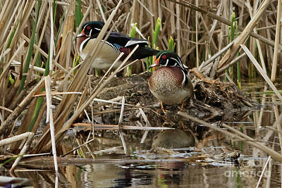 Wood Duck Photograph - Wood Duck Drake Hangout by Natural Focal Point Photography
