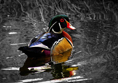 Photograph - Wood Duck Drake by Jean Noren