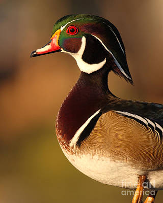 Wood Duck Drake Looking Into The Distance Art Print by Max Allen