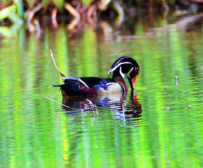 Photograph - Wood Duck Drinking by Kathy Kelly