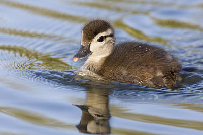 Baby Bird Photograph - Wood Duck Duckling Swimming Santa Cruz by Sebastian Kennerknecht