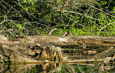 Photograph - Wood Duck Females by Edward Peterson