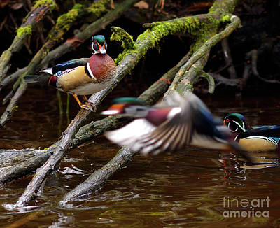 Photograph - Wood Duck Fly By by Terry Elniski