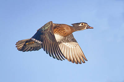 Photograph - Wood Duck Hen In Flight by Mark Miller