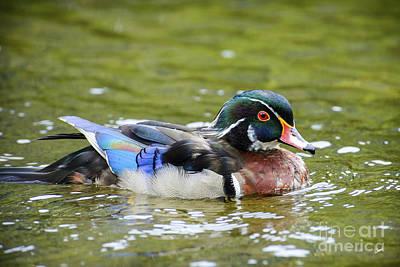 Photograph - Wood Duck II by Alana Ranney