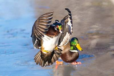 Photograph - Wood Duck In Action by Lynn Hopwood