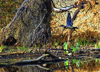 Digital Art - Wood Duck In Flight by Kathy Kelly