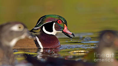 Photograph - Wood Duck by Joshua McCullough