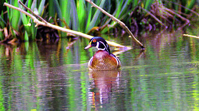 Photograph - Wood Duck Looking Left by Kathy Kelly