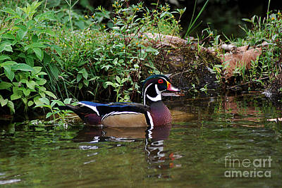 Kitchen Spices And Herbs - Wood Duck Male 20130924_47 by Tina Hopkins
