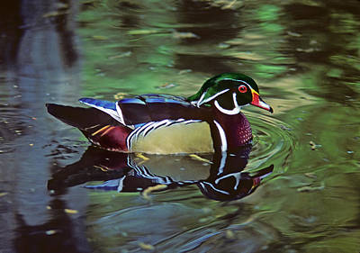 Photograph - Wood Duck by Marie Hicks