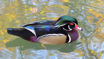 Photograph - Wood Duck by Marilyn Holkham