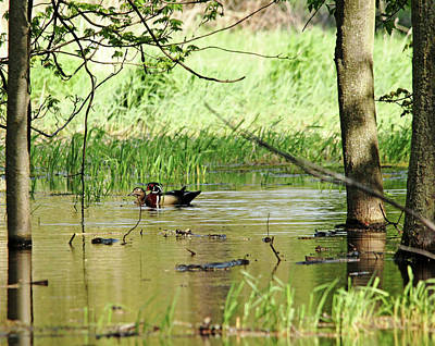 Photograph - Wood Duck Mates by Debbie Oppermann