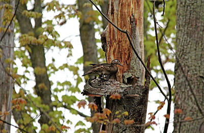 Photograph - Wood Duck On Bark Perch by Debbie Oppermann