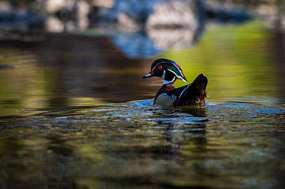 Photograph - Wood Duck On Mill Creek by Jeff Phillippi