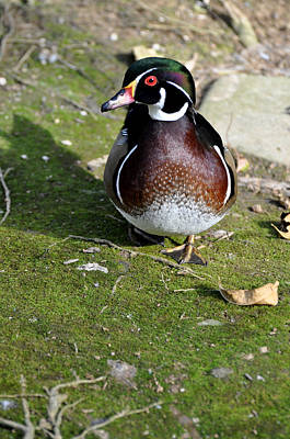 Wood Duck On Moss Art Print by Jan Amiss Photography