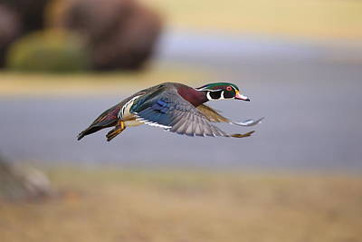 Photograph - Wood Duck On The Move by Lynn Hopwood