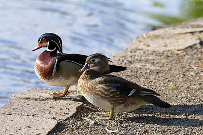 Wood Duck Pair By The Lake Art Print by David Gn