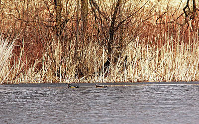 Photograph - Wood Duck Pair by Debbie Oppermann