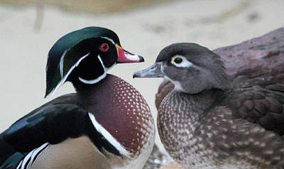 Photograph - Wood Duck Pair In Love by Jack Nevitt