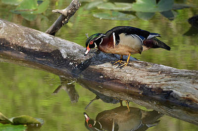 Photograph - Wood Duck Reflection by Ann Bridges