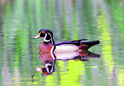 Photograph - Wood Duck Reflection by Kathy Kelly