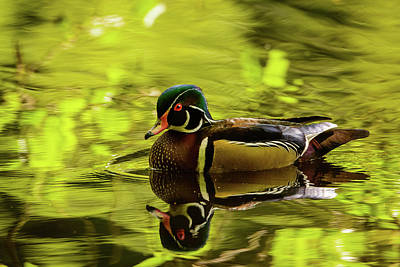 Photograph - Wood Duck Reflection by Michael McAuliffe