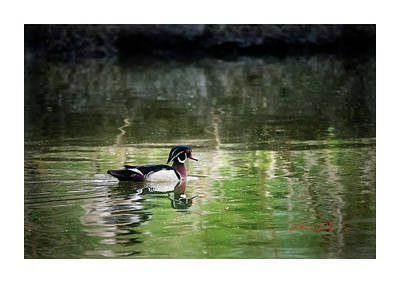 Photograph - Wood Duck Reflections by Edward Peterson