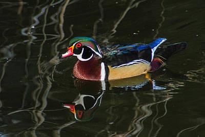 Photograph - Wood Duck Reflections by Robert Hebert