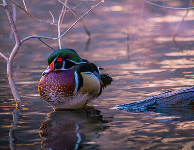 Photograph - Wood Duck Resting by Bryan Carter