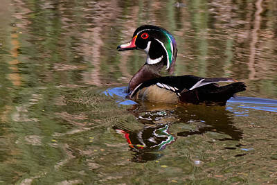 Photograph - Wood Duck Ripples by Kathleen Bishop