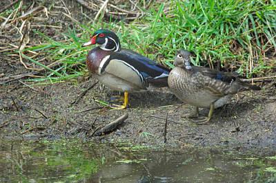 Duck Photograph - Wood Duck  by Robert Smice