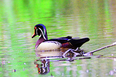 Photograph - Wood Duck Sail Away by Kathy Kelly