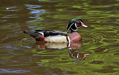 Print featuring the photograph Wood Duck by Sandy Keeton