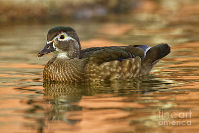 Photograph -  Wood Duck Sitting Pretty  by Ruth Jolly
