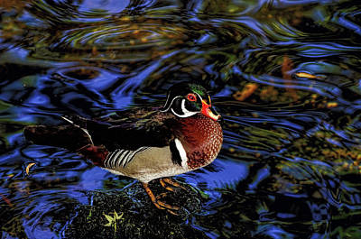 Photograph - Wood Duck by Stuart Harrison