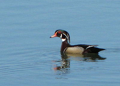 Photograph - Wood Duck by T Guy Spencer